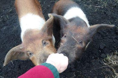 Schweinealarm